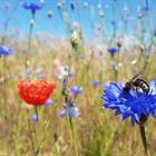 Blühstreifen im Juli 2021. Mehrjährige Blühstreifen fördern das Vorkommen von Bestäubern und Nützlingen.  © RBB-Pilarski