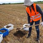 Regenwurmprobenahme August 2020 (2).  Ixchel Hernandez bei der Entnahme einer Bodenprobe zur Zählung und Bestimmung von Regenwürmern.  © Monika Joschko / ZALF